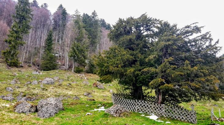 Doppel-Eibe, Männlich, 2000 Jahre alt