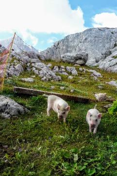 Zwoa Schweindal am Dachstoa