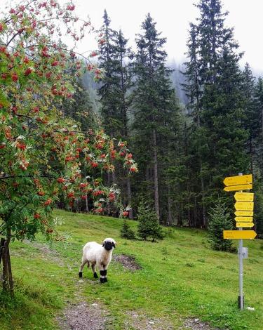 Wohl das schönste Schaf Tirols